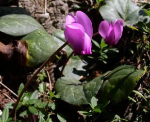 Cyclamen purpurascens