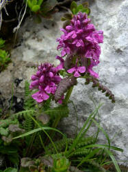 Pedicularis sp.
